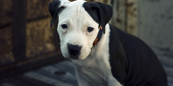 800px-American_Pit_Bull_Terrier_Pup